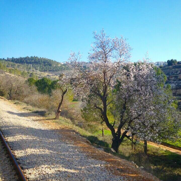 צפו: לאחר פרויקט השיקום הנופי – הפריחה המרהיבה בתוואי הקו המהיר לירושלים